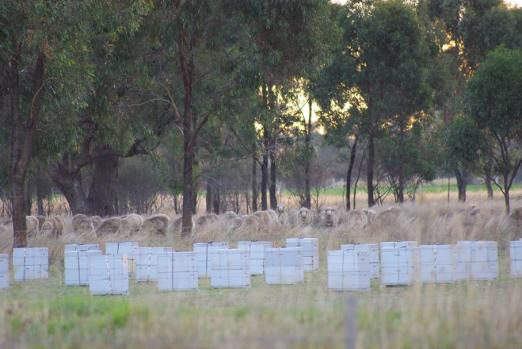bee-boxes-sheep-copy