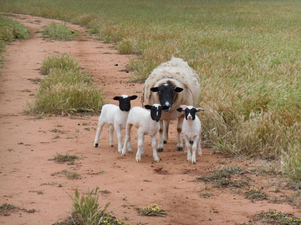 One of our Dorper ewes with  her triplets!